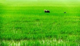 Vietnamese on the rice field Stock Image