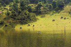Vietnamese rural scene, with children swimming on the lake and water buffaloes eating grass on beyond hill.  Royalty Free Stock Photography