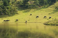 Vietnamese rural scene, with children swimming on the lake and water buffaloes eating grass on beyond hill.  Royalty Free Stock Images