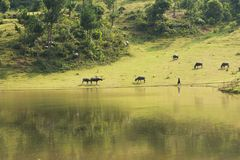 Vietnamese rural scene, with children swimming on the lake and water buffaloes eating grass on beyond hill.  Royalty Free Stock Photo