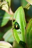 Vietnamese scarab beetle Stock Photo