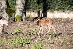 Vietnamese Sika deer, Cervus nippon pseudaxis, was exterminated. The Vietnamese Sika deer, Cervus nippon pseudaxis, was exterminated royalty free stock photography