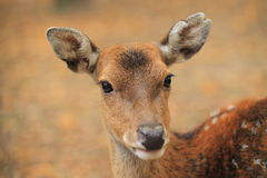 Vietnamese sika deer Royalty Free Stock Images