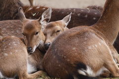 Vietnamese sika deer juveniles Stock Photo