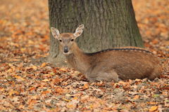Vietnamese sika deer Royalty Free Stock Photos