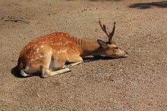 Vietnamese sika deer. Resting Vietnamese sika deer (Cervus nippon pseudaxis Royalty Free Stock Images