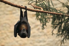 Vietnamese small flying fox Stock Photo