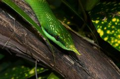 Vietnamese snake Royalty Free Stock Images