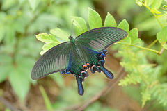 Vietnamese swallowtail. Swallowtail butterfly from North Vietnam stock photo