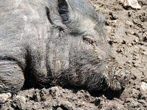 Vietnamese Topf-aufgeblähtes Schwein Lizenzfreies Stockbild