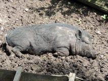 Vietnamese Topf-aufgeblähtes Schwein Stockbilder