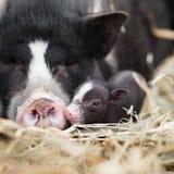 Vietnamese varkens royalty-vrije stock foto