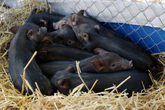 Vietnamese varkens Stock Afbeelding