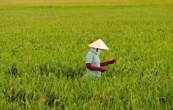 Vietnamese vrouw die in een padieveld werkt Stock Afbeeldingen
