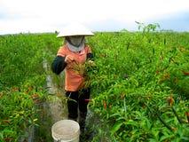 Vietnamese vrouwenlandbouwer het plukken Spaanse peper op het gebied Royalty-vrije Stock Foto