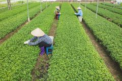 Vietnamese vrouwenlandbouwers die aan plantaardig gebied werken Stock Foto