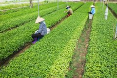 Vietnamese vrouwenlandbouwers die aan plantaardig gebied werken Stock Afbeeldingen