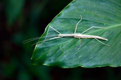 Vietnamese walking stick. Leaf insect from North Vietnam royalty free stock image