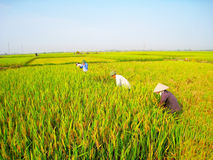 Vietnamese woman farmer harvest Royalty Free Stock Photography