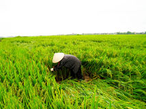 Vietnamese woman farmer harvest on a rice field Stock Image
