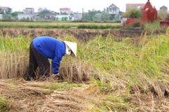 Vietnamese woman farmer harvest on a rice field Stock Image