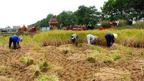 Vietnamese woman farmer harvest on a rice field Stock Images