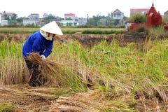 Vietnamese woman farmer harvest on a rice field Royalty Free Stock Photos