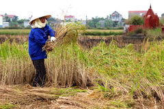 Vietnamese woman farmer harvest on a rice field Royalty Free Stock Images