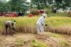Vietnamese woman farmer harvest on a rice field Royalty Free Stock Photo