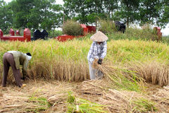 Vietnamese woman farmer harvest on a rice field Royalty Free Stock Photography