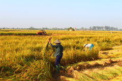 Vietnamese woman farmer harvest Stock Images