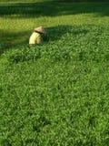 Vietnamese woman farming. A vietnamese woman farms in a luscious green field in Hoi An royalty free stock photos