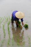 Vietnamese woman transplanting rice Stock Photo