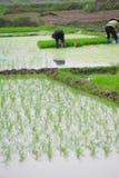 Vietnamese woman transplanting rice Royalty Free Stock Image