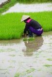 Vietnamese woman transplanting rice Royalty Free Stock Photos