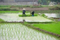 Vietnamese woman transplanting rice Stock Photos