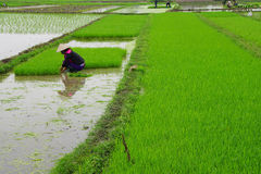 Vietnamese woman transplanting rice Stock Images