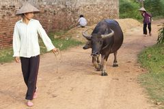 Vietnamese Woman with Water Buffalo Stock Images