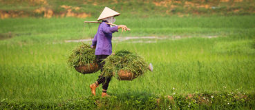 Vietnamese Woman at Work in Ricefield. A vietnamese woman is at work in a ricefield, keeping balance while carrying heavy load stock images