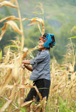 Vietnamese woman working on corn field in North of Vietnam Royalty Free Stock Images