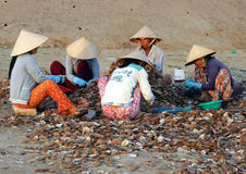 Vietnamese women sort seashells on the shore Stock Image