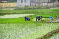Vietnamese women transplanting rice Royalty Free Stock Images