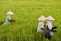 Vietnamese women working in a rice paddy Stock Photos
