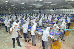 Vietnamese workers are filleting pangasius fish in a seafood processing plant in the mekong delta Stock Images