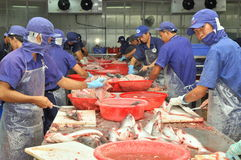 Vietnamese workers are filleting pangasius fish in a seafood processing plant in the mekong delta Royalty Free Stock Photography