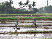 Vietnamese workers plant rice in the flooded field, hard work in central Vietnam Stock Photos
