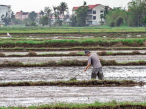 Vietnamese workers plant rice in the flooded field, hard work in central Vietnam Royalty Free Stock Image