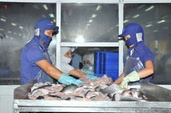 Vietnamese workers are sorting pangasius fish after cutting in a seafood processing plant in the mekong delta Royalty Free Stock Photography
