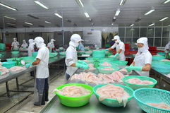 Vietnamese workers are sorting pangasius fish after filleting in a seafood processing plant in the mekong delta Royalty Free Stock Photos