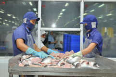 Vietnamese workers are sorting pangasius fish after filleting in a seafood processing plant in the mekong delta Stock Image